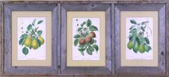 Triptych of Pears