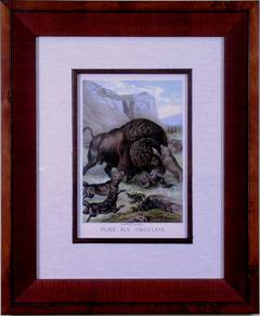 Plate XLV.  Ungulata.  American Buffalo