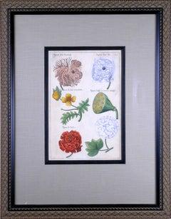 Papauer Flore.  (Poppy Flower)