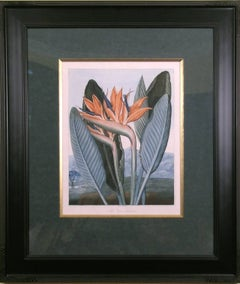 The Queen Flower  (Bird of Paradise)