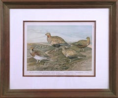 Pl. VII  Pterocles (Sandgrouse)