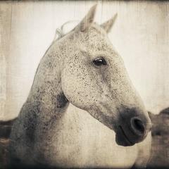 Horse Portrait - 1, 1/10, 2016