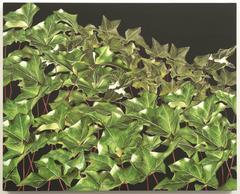 Ivy: Lone Pine Road