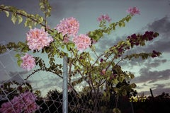 """Fence with Bougainvillea,"" 2015 from the Young Love Series by Ivar W"
