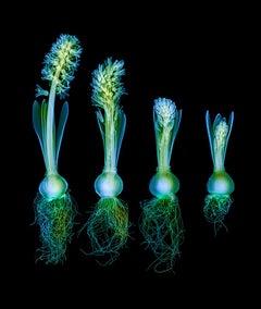 Hyacinth Sequence on Black