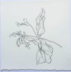SF, plant drawing #2, work on paper, graphite, signed