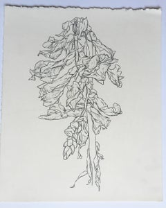 Studio, plant drawing #4, work on paper, graphite, signed