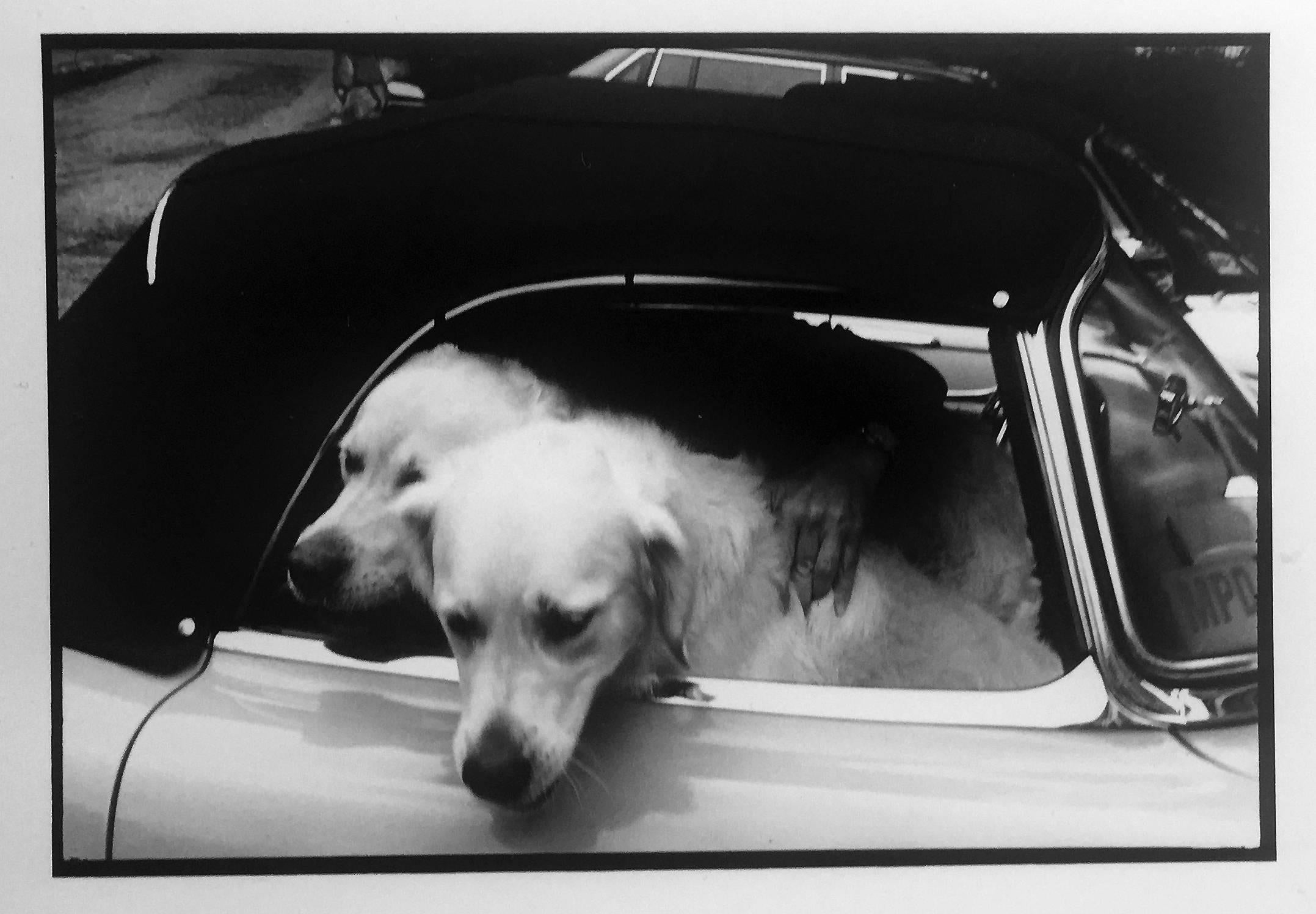 Dogs, USA, Greenwich, CT,  Black and White Photograph of Pets in Sports Cars