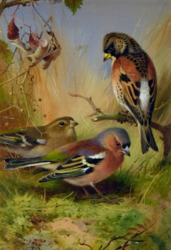 Bramblings & Chaffinch