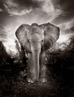 Kibo - Platinum Palladium Print, Elephant, black and white photography, wildlife