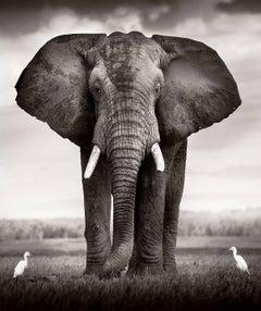 Elephant Bull with two birds Kenya