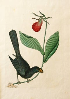 The Razor-billed Blackbird of Jamaica, hand-colored engraving, 1754