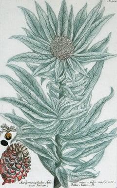 Scolymocephalus Africanus N. 900 mezzotint engraving witrh some hand coloring
