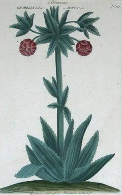 Ananus Sclvestris ( Pineapple ) N. 110 mezzotint engraving with hand coloring