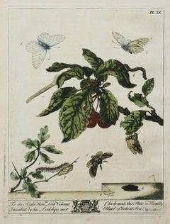The Aurelian, A Natural History  English Moths  Butterflies Moses Harris pl. IX