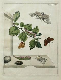 The Aurelian, A Natural History of English Moths  Butterflies  Plate XXXVIII