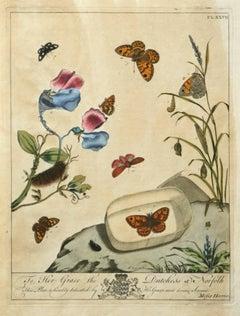 The Aurelian, A Natural History  English Moths Butterflies Plate XXVII 1778 ed.