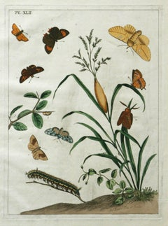 The Aurelian, A Natural History of English Moths and Butterflies  Plate XLII