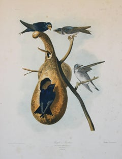 Purple Martin Bien Ed. J.J. Audubon rare hand colored chromolithograph