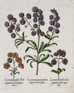Three Varieties of Leucoium , Hortus Eystettensis, ( after ) Besler
