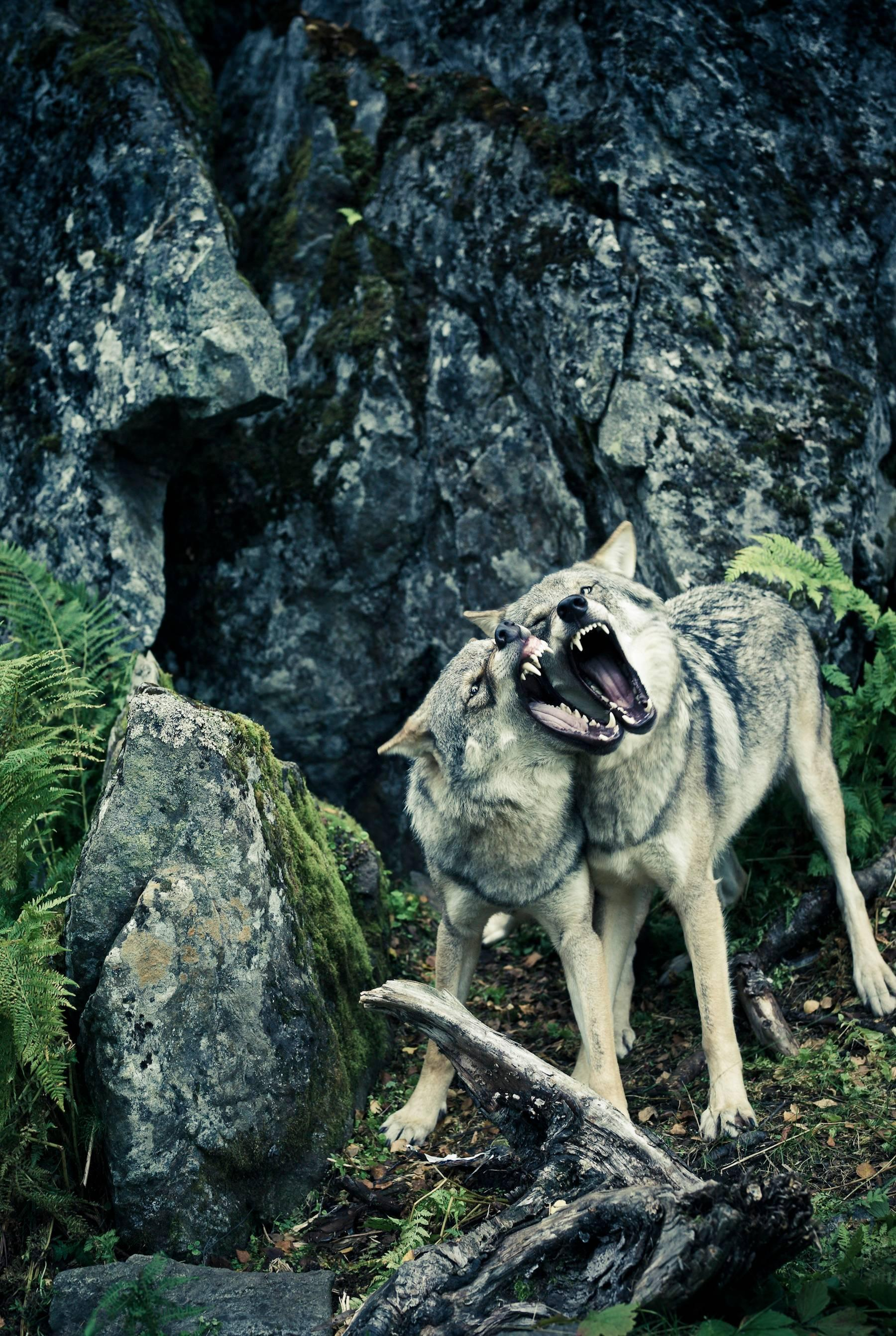 Untitled 1, Shadow Within, Norway / USA, animal photography