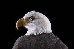 Bald Eagle #1, St Louis, MO, 2012 (Animal Studio Photography)