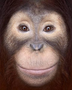 Orangutan #1, Los Angeles, CA, 2011 (Animal Portrait)