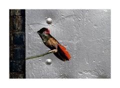 Bird #167 (Chrysolampis Mosquitus)