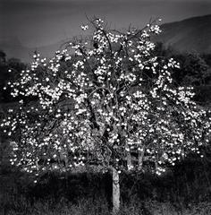 Persimmon Tree, Sulmona, Abruzzo, Italy, 2015