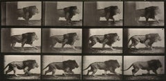 Animal Locomotion: Plate 722 (Lion Walking), 1887