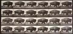 Animal Locomotion: Plate 699 (Bison Walking), 1887