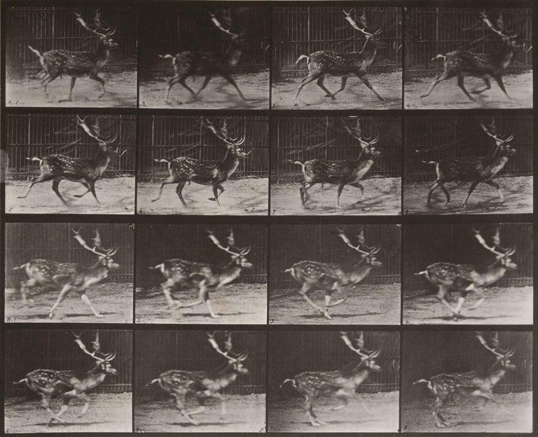 Eadweard Muybridge Black and White Photograph - Animal Locomotion: Plate 682 (Stag Running), 1887