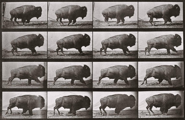Animal Locomotion: Plate 700 (Bison Galloping), 1887