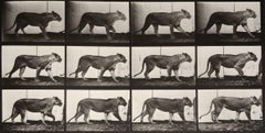 Animal Locomotion: Plate 723 (Lioness Walking), 1887