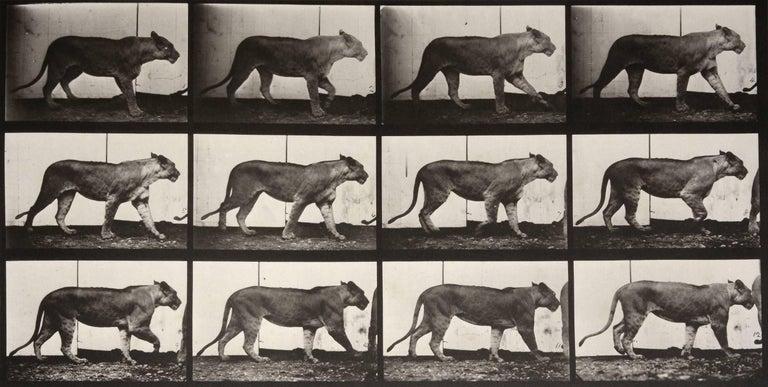 Animal Locomotion: Plate 723 (Lioness Walking), 1887