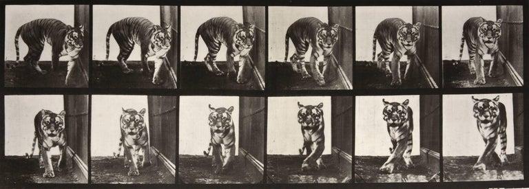 Eadweard Muybridge Black and White Photograph - Animal Locomotion: Plate 730 (Tiger Walking), 1887