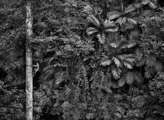 Mentawai Climbing a Gigantic Tree, Siberut Island, West Sumatra, Indonesia, 2008