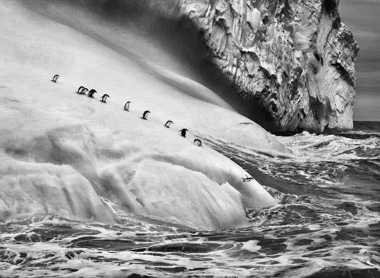 Sebastião Salgado Black and White Photograph - Chinstrap Penguins, South Sandwich Islands, 2009