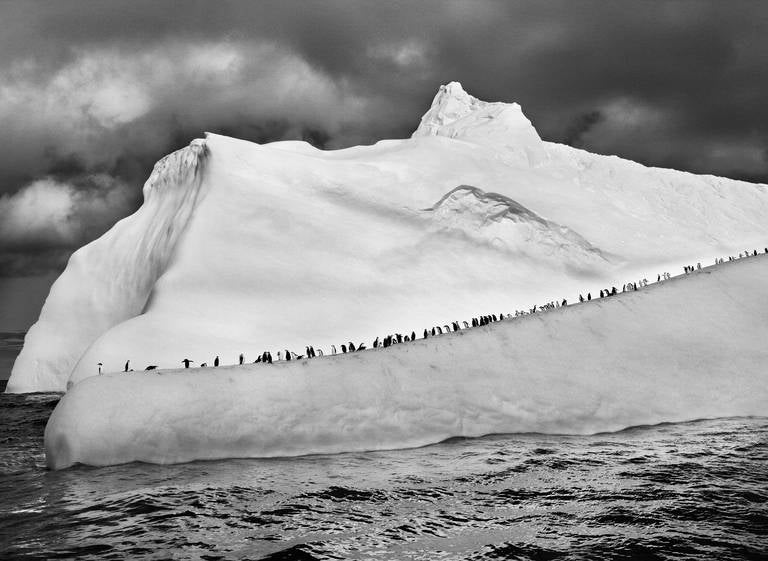 Sebastião Salgado Landscape Photograph - Chinstrap Penguins on an Iceberg, South Sandwich Islands, 2009