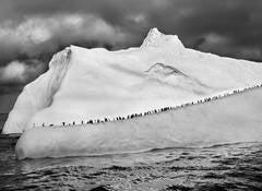 Chinstrap Penguins, 2009