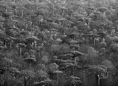 Adansonia Grandidieri, Madagascar, 2010
