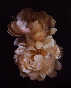 Paeonia 'Coral Charm' [Ref. #RSL072]
