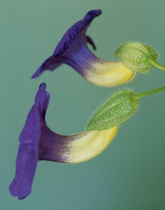 Thunbergia grandiflora [Ref. #CSL55X]