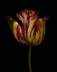 Tulipa 'Aleppo' (Mutant) [Ref. #RSL071]