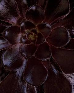 Aeonium 'Zwartkop' [Ref. #CSL70X]