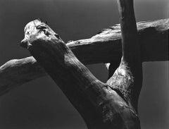 Cotton Wood Stumps
