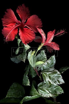 Hibiscus - Polychrome Photograph on Aluminum