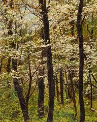 Thicket Number 41: Dogwood Blossoms by Jeffrey Vaughn, Oil Painting on Canvas
