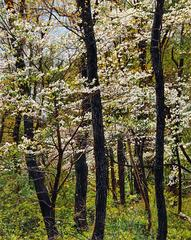 "Jeffrey Vaughn - ""Thicket Number 41: Dogwood Blossoms"", Oil Painting on Stretched Canvas, Framed"