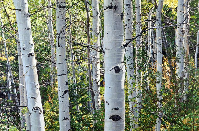 """Aspen Trees Number"", Treescape Oil Painting on Stretched Canvas, Framed"